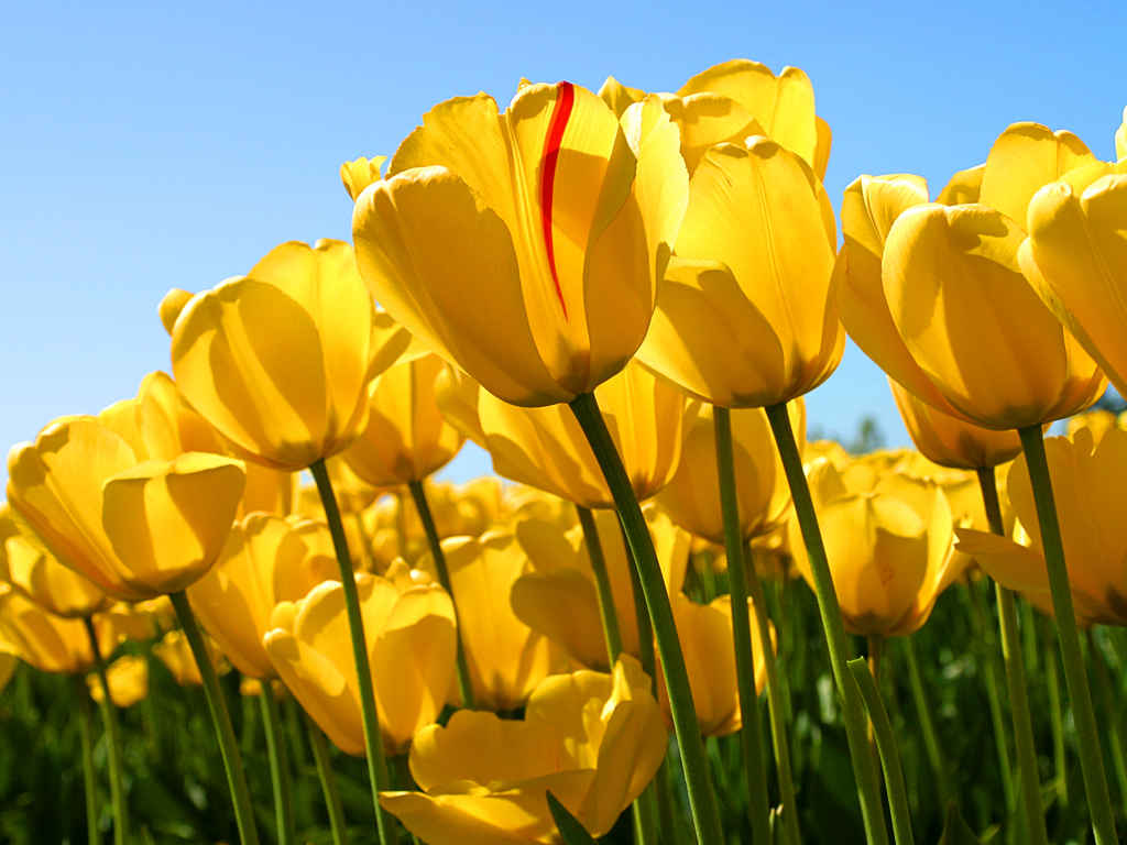 Tulips 1 - Redeal with Webp